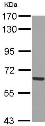 Western blot - Anti-GADD34 antibody (ab126075)