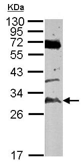 Western blot - Anti-TATDN3 antibody (ab126079)