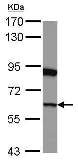 Western blot - Anti-eRF3/GSPT1  antibody (ab126090)