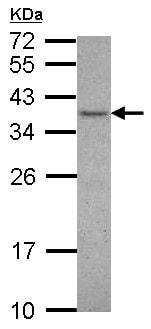 Western blot - Anti-VAX1 antibody (ab126176)