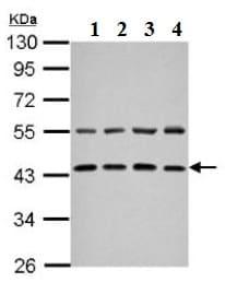 Western blot - Anti-ZFYVE27 antibody (ab126222)