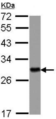 Western blot - Anti-14-3-3 eta antibody (ab126236)