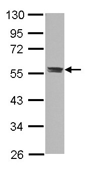 Western blot - Anti-C3a Receptor antibody (ab126250)