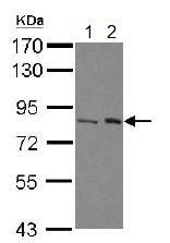 Western blot - Anti-BAAT1 antibody (ab126277)