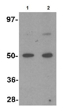 Western blot - Anti-MINA53 antibody (ab126282)