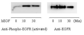 Western blot - EGFR Human In-Cell ELISA Kit (ab126419)