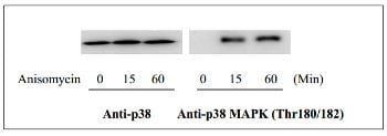 Western blot - p38 MAPK (Thr180/Tyr182) In-Cell ELISA Kit (ab126425)