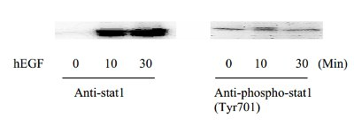 Western blot - STAT1 (Tyr701) In-Cell ELISA Kit (ab126426)