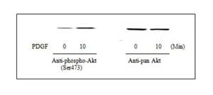 Western blot - Akt (pS473) + total Akt ELISA Kit (ab126433)