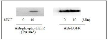 Western blot - EGFR (pY1045) ELISA Kit (ab126436)