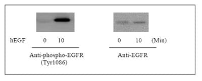 Western blot - EGFR (pY1086) ELISA Kit (ab126440)
