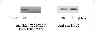 Western blot - Erk1 (pT202/pY204) + Erk2 (pT185/pY187) ELISA Kit (ab126444)
