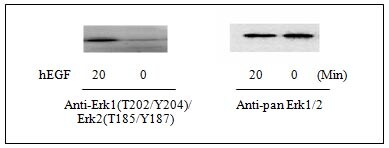 Western blot - Erk1 (pT202/pY204) + Erk2 (pT185/pY187) + total Erk1/2 ELISA Kit (ab126445)