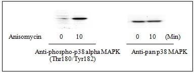 Western blot - p38 alpha (pT180/pY182) ELISA Kit (ab126452)