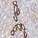 Immunohistochemistry (Formalin/PFA-fixed paraffin-embedded sections) - Anti-UPF0532 antibody (ab126478)
