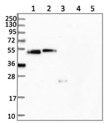 Western blot - Anti-CCDC81 antibody (ab126535)