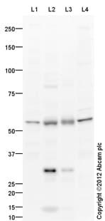 Western blot - Anti-LOX 1 antibody (ab126538)