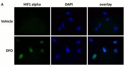 Immunocytochemistry - HIF1a + GLUT1 Hypoxia Flow Kit (ab126584)