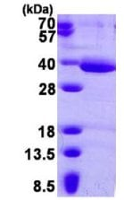 SDS-PAGE - HAAO protein (His tag) (ab126667)