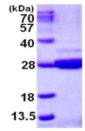 SDS-PAGE - C9orf95 protein (His tag) (ab126673)