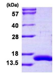 SDS-PAGE - CRIPT protein (His tag) (ab126677)
