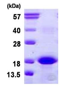 SDS-PAGE - Bcl2A1 protein (His tag) (ab126683)