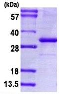 SDS-PAGE - Human PD-L1 protein fragment (ab126688)