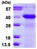 SDS-PAGE - ERCC1 protein (ab126690)