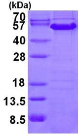 SDS-PAGE - Cyclin A protein (ab126696)