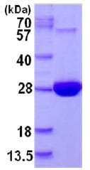 SDS-PAGE - Methionine Sulfoxide Reductase A protein (His tag) (ab126699)