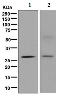 Western blot - Anti-Cdx1 antibody [EPR4819(2)] (ab126748)