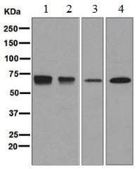 Western blot - Anti-PTP epsilon antibody [EPR6715] (ab126788)