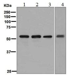 Western blot - Anti-FMO3 antibody [EPR6967] (ab126790)