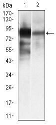 Western blot - Anti-Alkaline Phosphatase, Tissue Non-Specific antibody [2F4] (ab126820)
