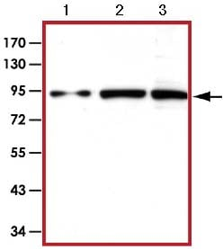 Western blot - Anti-STAT5 antibody (ab126832)