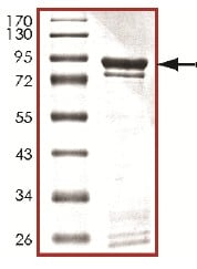 SDS-PAGE - CDK11 / CDC2L2 protein (Tagged) (ab126905)