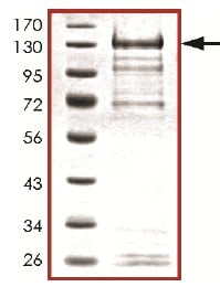 SDS-PAGE - ERK5 protein (Active) (ab126913)