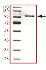 SDS-PAGE - PADI3 / PAD3 protein (Tagged) (ab126921)