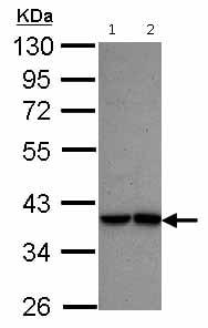 Western blot - Anti-Interferon regulatory factor 9 antibody (ab126940)