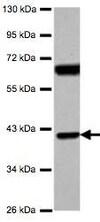 Western blot - Anti-SNX7 antibody (ab126954)