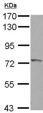 Western blot - Anti-Influenza Virus NS1A Binding Protein antibody (ab127566)