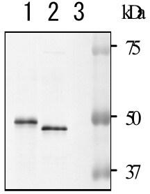 Western blot - Anti-NADase antibody (ab127942)