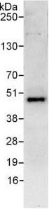 Immunoprecipitation - Anti-DPF2 antibody (ab128149)