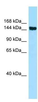 Western blot - Anti-CD109 antibody (ab128470)