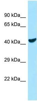 Western blot - Anti-COQ6 antibody (ab128652)