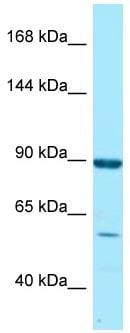 Western blot - Anti-RGL1 antibody (ab128655)