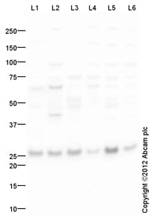 Western blot - Anti-GLO1 antibody (ab129124)