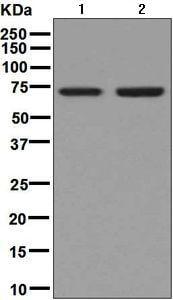 Western blot - Anti-Themis antibody [EPR7354] (ab129174)