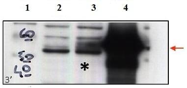 Western blot - Anti-CCM2 antibody (ab129386)