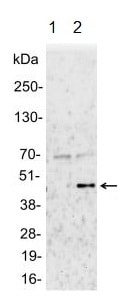 Immunoprecipitation - Anti-MEK1 (phospho T286) antibody (ab129457)